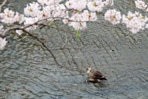 04恩田川の桜
