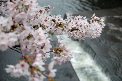 05恩田川の桜