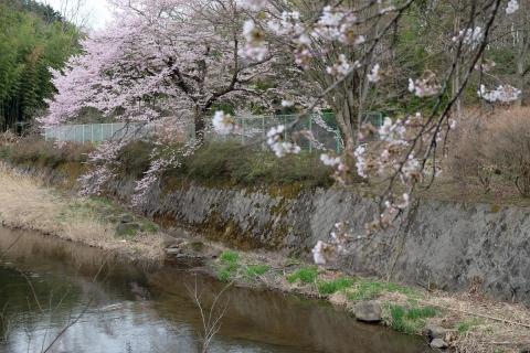 28中之条あたりの桜