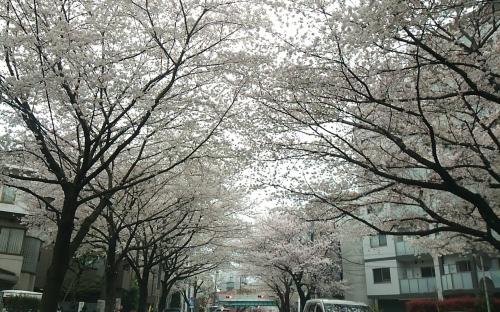 2016.4桜2
