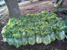 美音の健康レシピ  ~食を通じて日本を元気にしたい!~ -白菜 保存