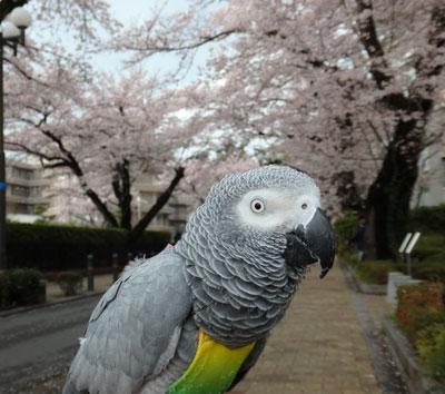 5_カンナさくら1