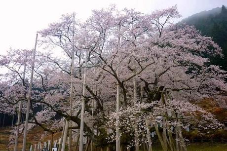 2016-4-2淡墨桜