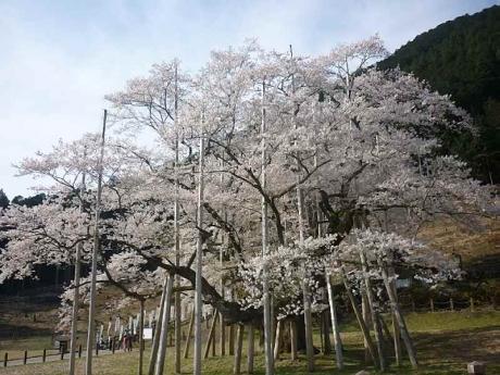 2016-4-6淡墨桜