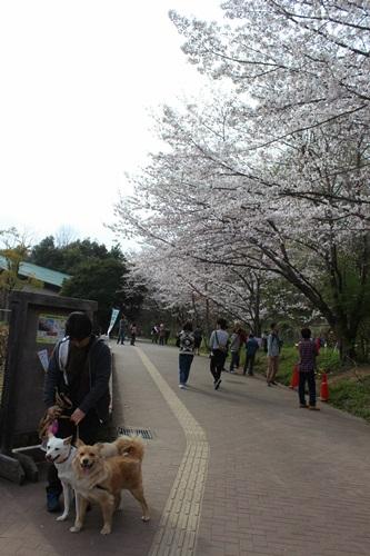 IMG_3780桜