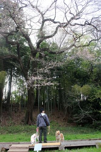 IMG_3764桜