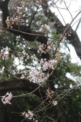 IMG_3765桜