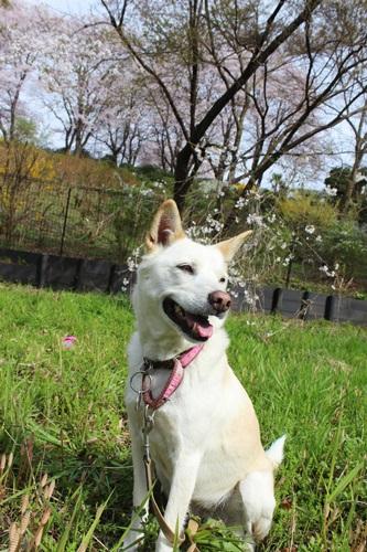 IMG_3767桜