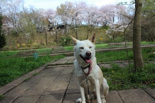 IMG_3771桜