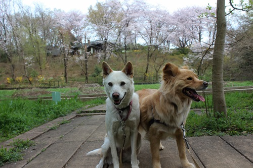 IMG_3776桜