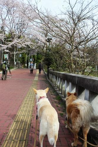 IMG_3782桜
