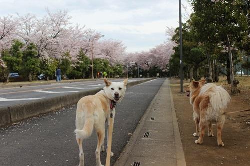 IMG_3799桜