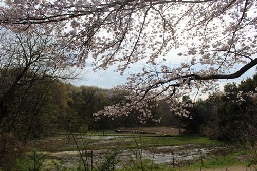 IMG_3795桜