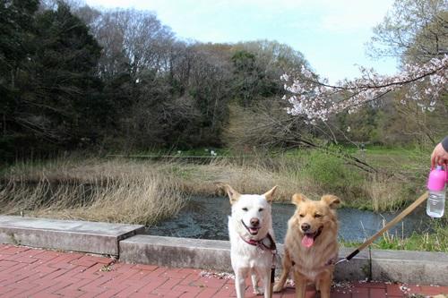 IMG_3792桜