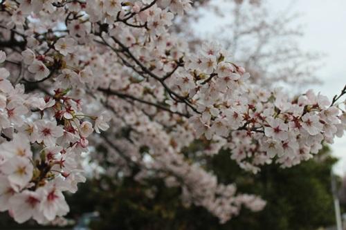 IMG_3800桜