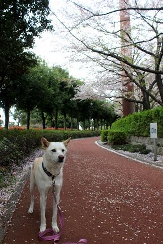 IMG_3832桜