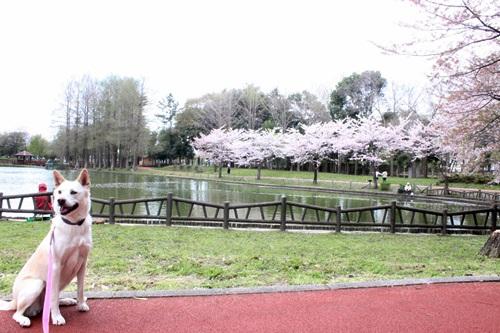 IMG_3840桜