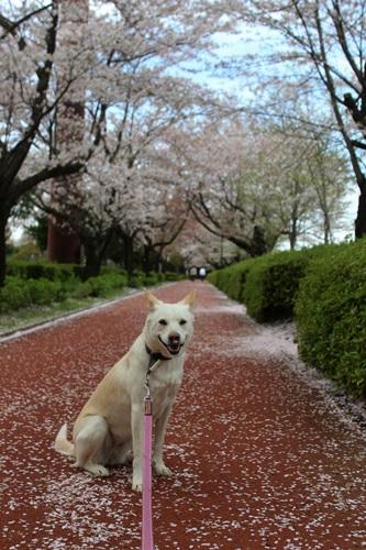 IMG_3851桜