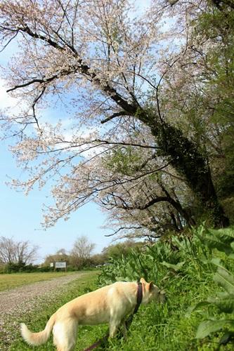 IMG_3857S桜