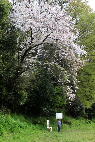 IMG_3858桜