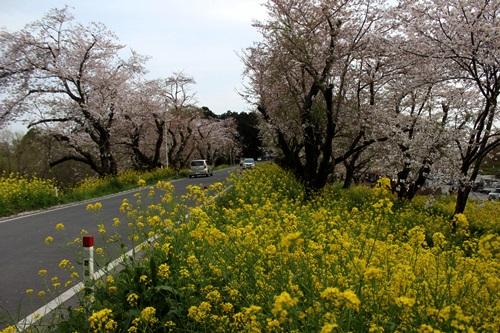 IMG_3899桜