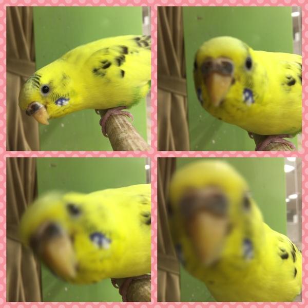小鳥の広場の愛想の良いコ  空色のセキセイ珠霞
