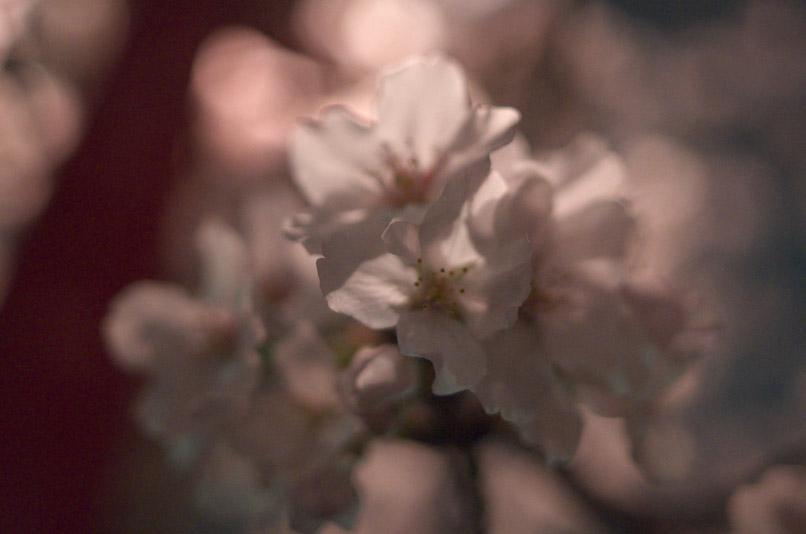 坂公園桜3min