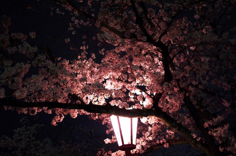 坂公園桜min