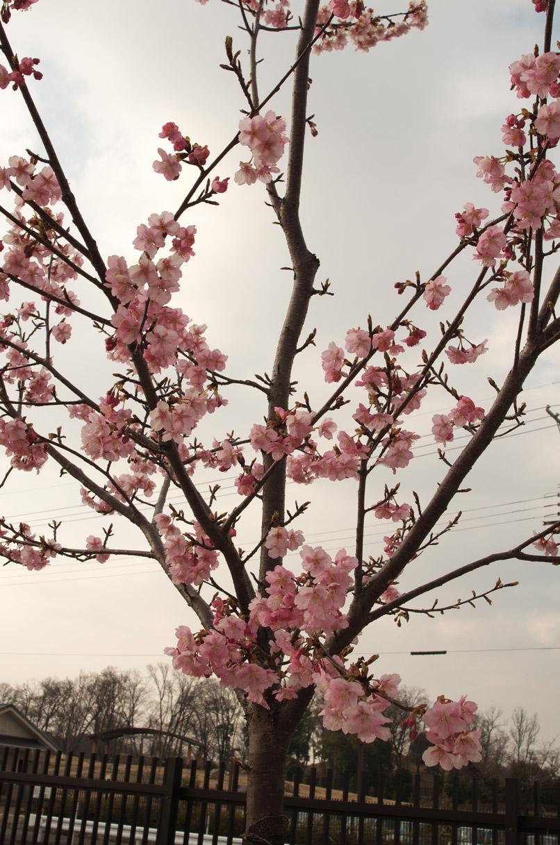河津桜2min