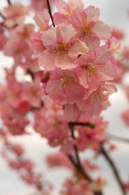 河津桜3min