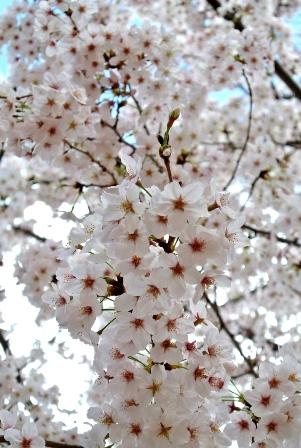 花見べんとうレッスン2016_7
