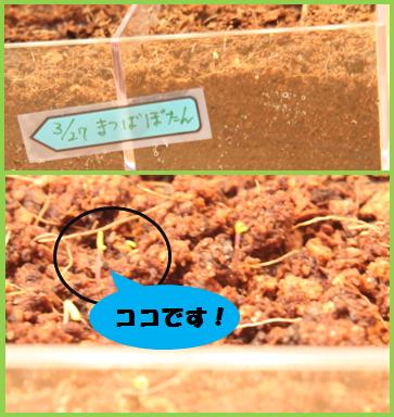 マツバボタン(1)