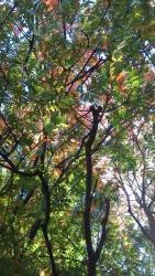 上野毛 紅葉