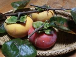我が家の柿を収穫