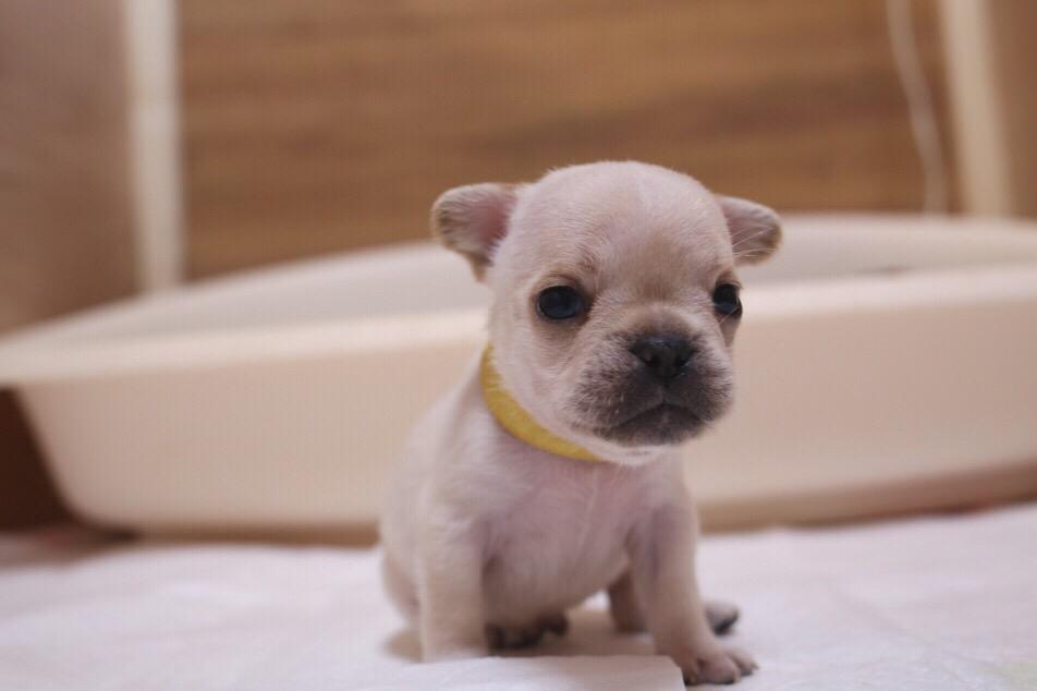 フレブル ソロ写真 子犬 初日 6