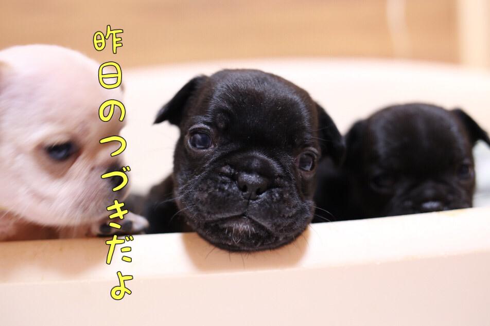 フレブル ソロ写真 子犬 二日目 5