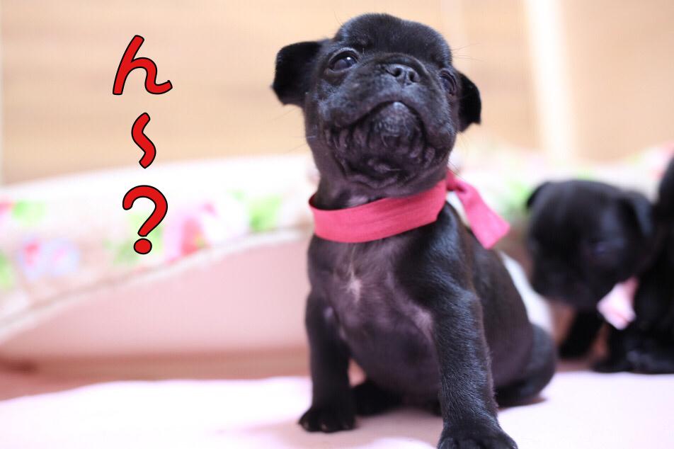 フレブル 子犬 離乳食 初日 3