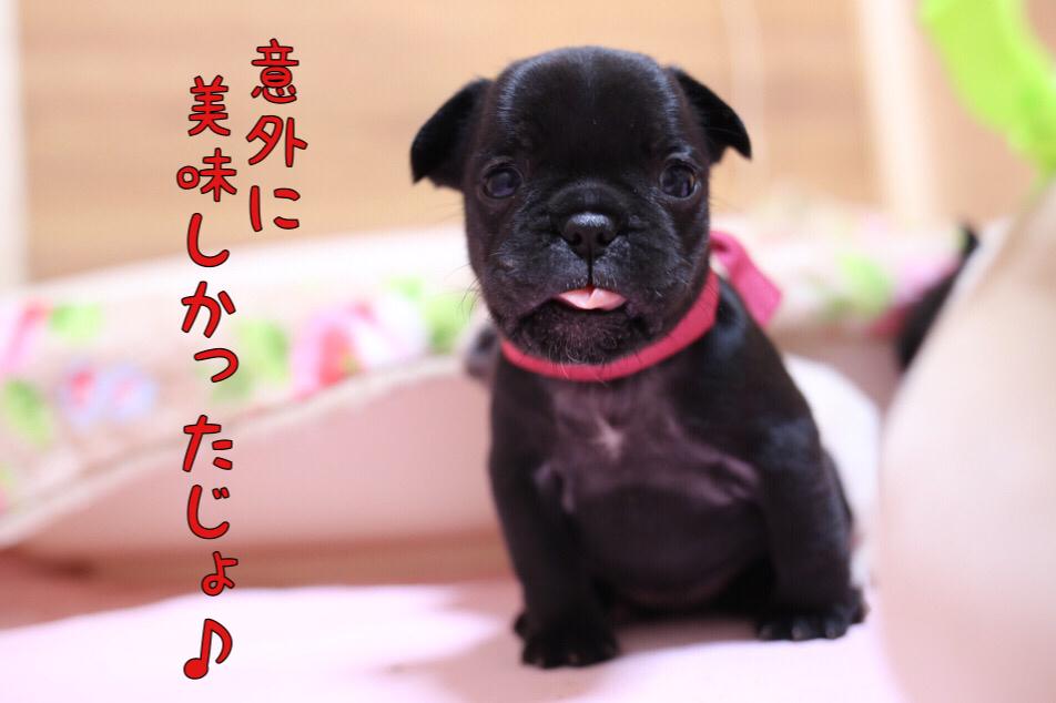 フレブル 子犬 離乳食 初日 4