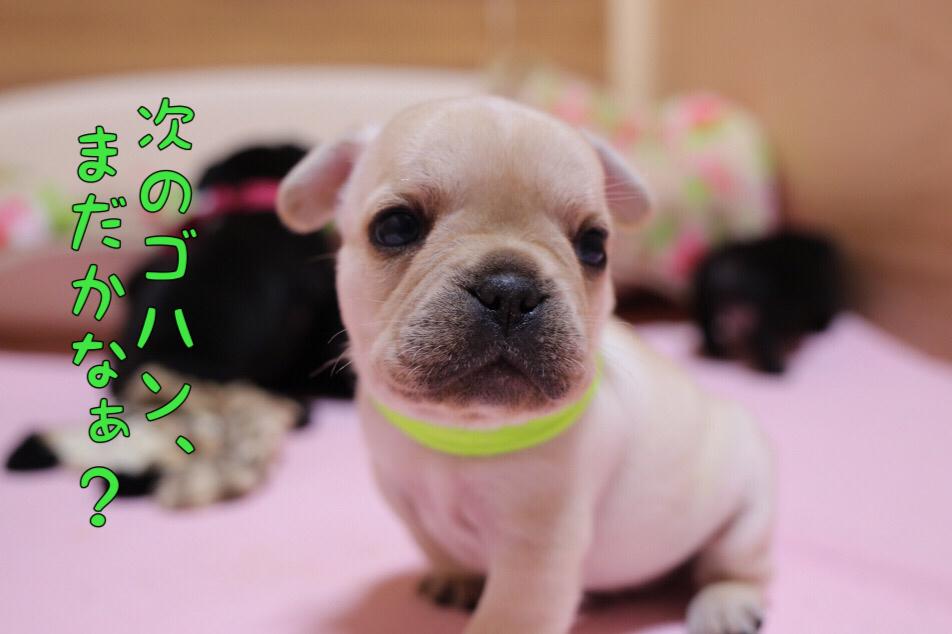 フレブル 子犬 離乳食 初日 5