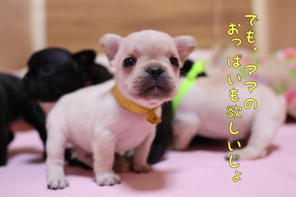 フレブル 子犬 離乳食 初日 6