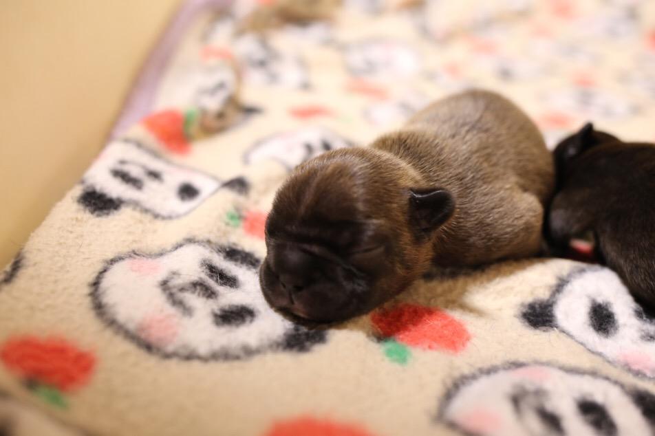 ジューシー 子犬 フレブル 二頭 2