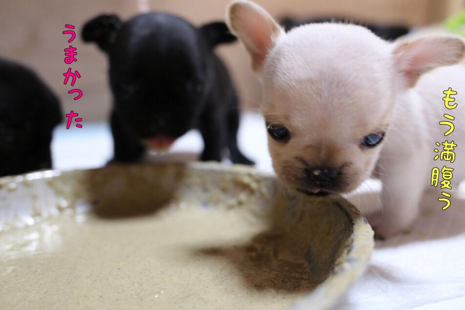 フレブル 仔犬 離乳食 ベタベタ 3