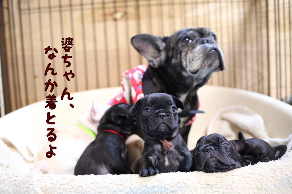 フレブル 仔犬 ちゃんちゃんこ 2