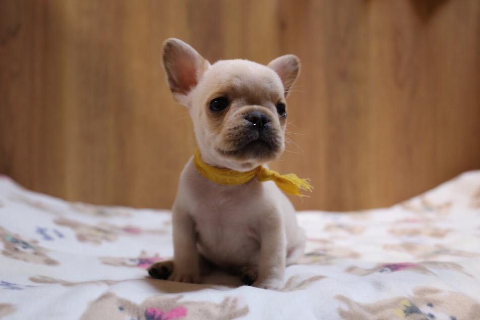 フレブル 飼主さん決定 子犬 3