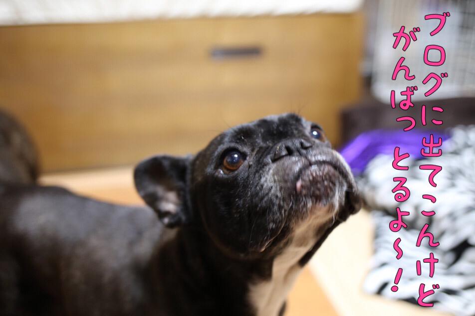 フレンチブルドッグ 子犬 ジューシー 3