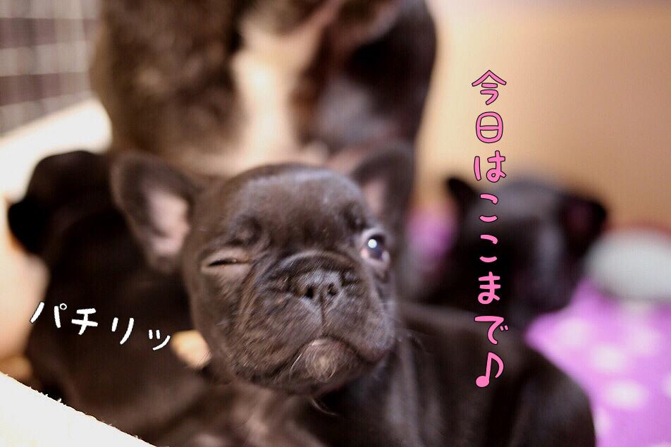 子犬 フレブル 日常 遊び 7