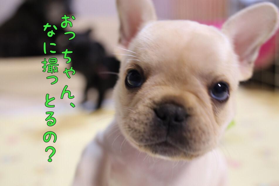 子犬 フレブル 日常 遊び 8
