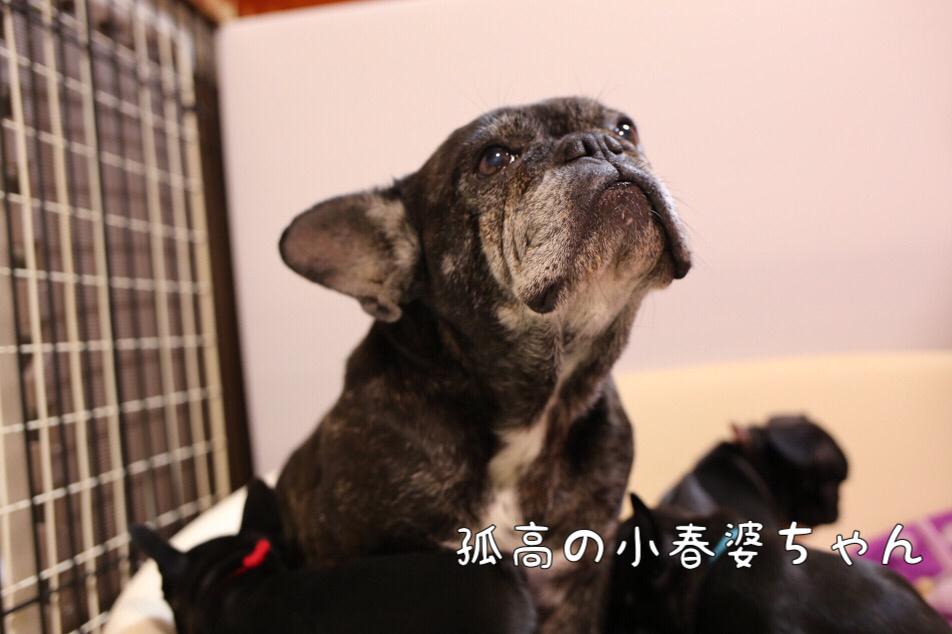 子犬 フレブル 日常 遊び 9
