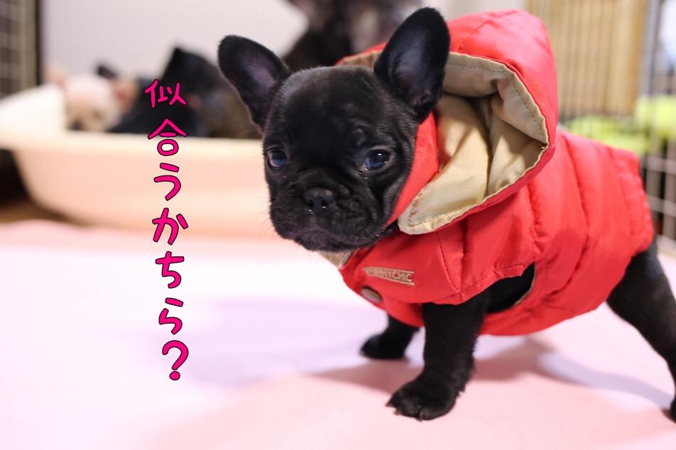 フレブル 子犬 洋服 オサレ 1