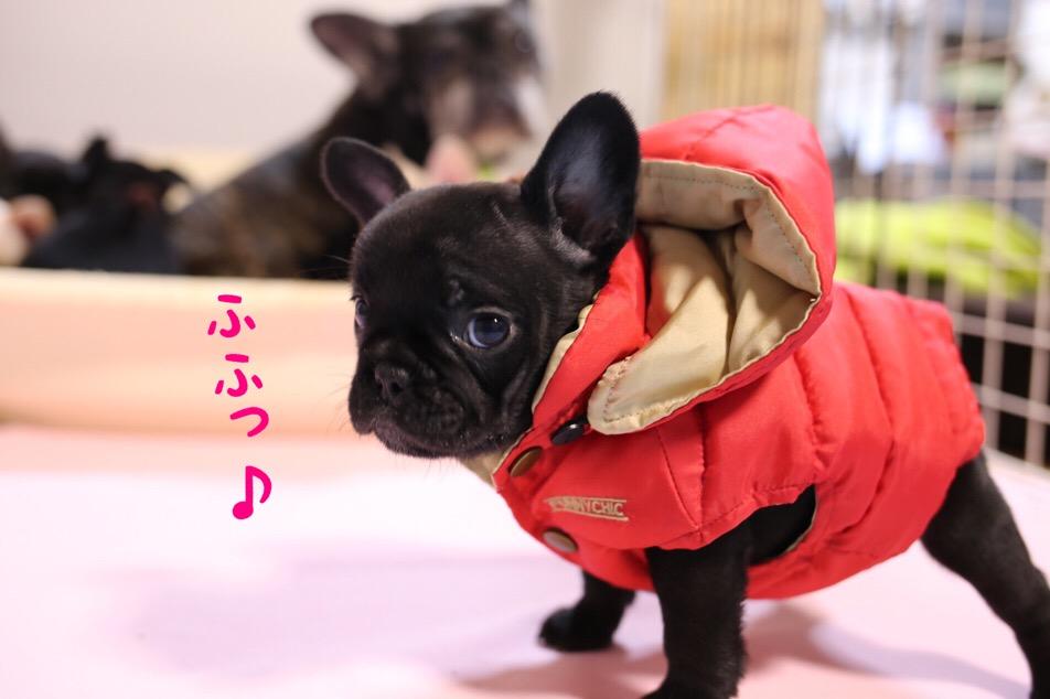 フレブル 子犬 洋服 オサレ 2